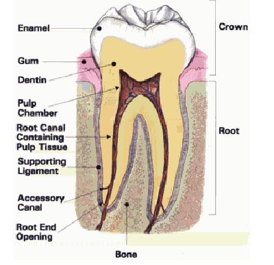root-canal-tooth.jpg