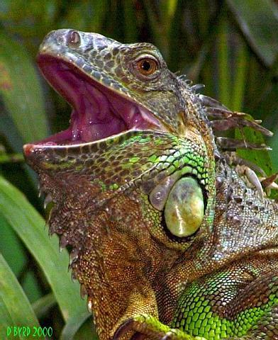 Iguana - Cincinnati Zoo - D. Byrd.jpg