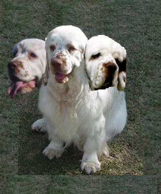 three-headed-clumber.jpg