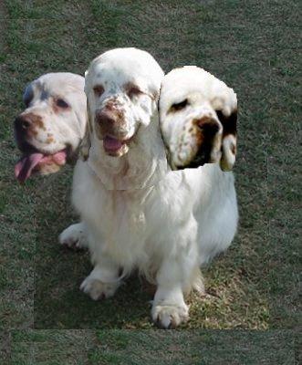 three-headed-clumber.jpg