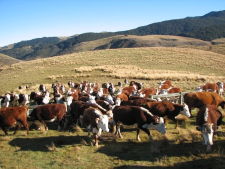 cattle_grazing_cook.jpg