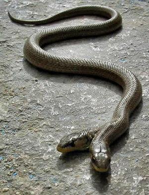 two_headed_snake_.jpg