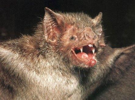 vampire-bat.jpg