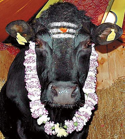 sacred.cows.jpg