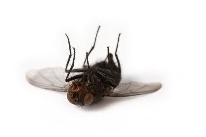 dead_fly.jpg