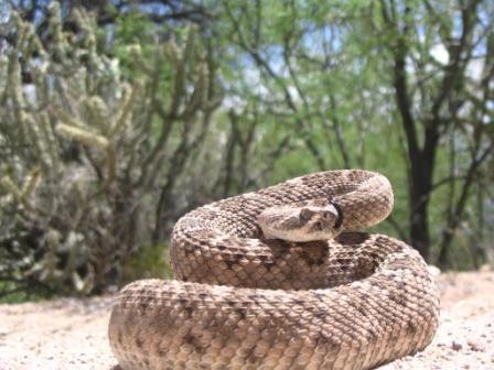 Diamond Back Rattle Snake close up.JPG
